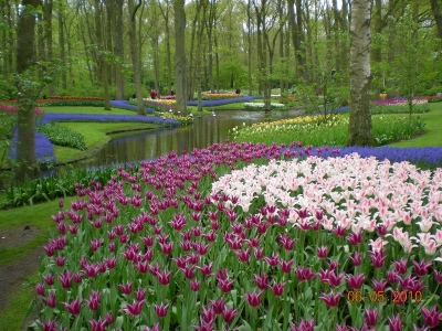 Dutch Imported Tulips