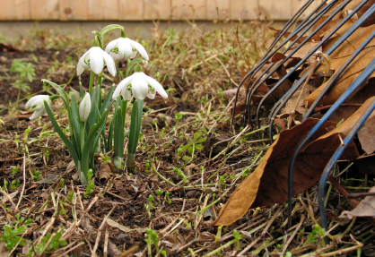 spring-garden-snowdrops-rake
