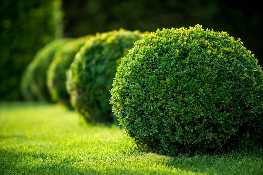 Shrub Trimming Salient Landscaping Residential And